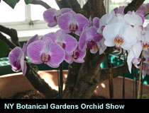NY Botanical Gardens Orchid Show
